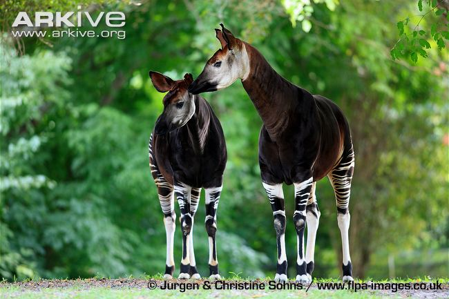 okapi-adult-pair-interacting-captive